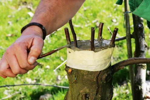 Če precepimo sadno drevo na novo sorto, razporedimo cepiče okrog oboda prerezanega debla. Cepiče utrdimo z izolirnim trakom ali vrvico, vse prerezane in ranjene ploskve pa premažemo s cepilno smolo. Čez kak dan preverimo namaz in ga obnovimo.