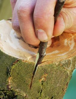 Če je lubje podlage debelo, se odlično obnese enostransko cepljenje za lub. Ožja od vzdolžno odrezanih ploskev na cepiču se mora stikati s tkivom lubja ob vzdolžni zarezi, druga, ki je ponavadi širša, pa se stika z lesom.