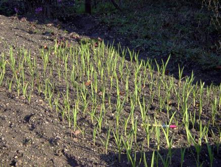 Spomladi česen začne hitro rasti, tako posajen je pregost. Rahljanje zemlje med rastlinami, ne da bi ga poškodovali, bo nemogoče.