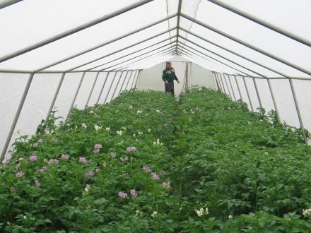 Vzorci krompirjevih sort so posajeni v mrežniku, zavarovanem pred škodljivci.