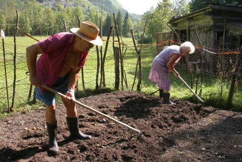 Zgornje Posočje je okuženo z rumeno krompirjevo ogorčico, zato je tam dovoljeno le pridelovanje krompirja sort, odpornih proti temu škodljivcu.