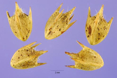 Seme ambrozije - Foto: gobotany.newenglandwide.org