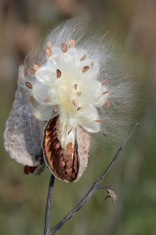 Okrasni trajnici sirski svilnici, Asclepias syriaca, pravijo ljudje zaradi oblike semena tudi cigansko perje ali papagajka. - Foto: www.gardening4us.com