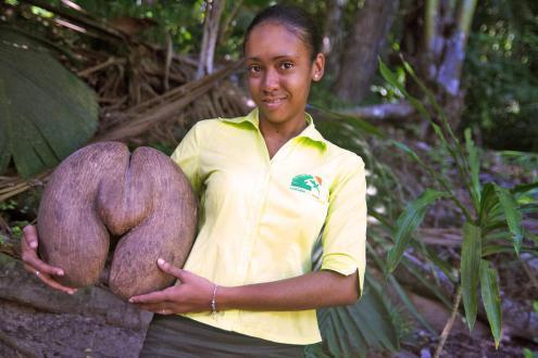 Morski kokos (Lodovicea maldivica) je navečje seme na svetu. Lahko tehta tudi 20 kilogramov. - Foto: www.droomplekken.nl