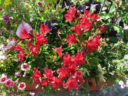 Alstomerija z intenziteto cvetenja zapolni osrednji del cvetličnega korita, zato lahko vanj vključimo le prevešajoče rastline ali nežne trave ob straneh.