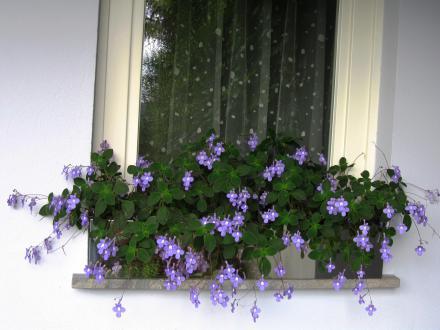 Klobučkasto oblikovani vijoličasti cvetovi neprave afriške vijolice dajejo občutek, kot da lebdijo na previsnih cvetnih steblih.