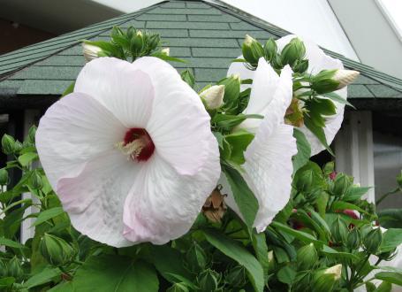 Čar močvirskega hibiskusa ni samo v cvetju, ampak tudi v razvoju cvetnih popkov, ki med počasnim dozorevanjem zapeljujejo izza bahavih cvetov.