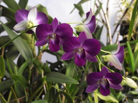 Dendrobij tipa phalenopsis ima cvetove, ki so precej podobni kot pri tej vrsti orhidej.