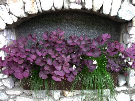 Okrasne deteljice so primerne predvsem za polsenčne in senčne lege, temno purpurni listi pa suvereno nadomestijo cvetni okras.