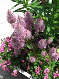 Cvetovi ptilotusa, združeni v stožčaste klase, so podobni lisičjemu repu in imajo roza obarvane konice s srebrnim sijajem.