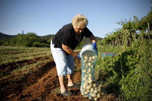 Če se odločimo za saditev zgodnjih in srednje zgodnjih sort krompirja, je velika verjetnost, da se bomo z zgodnjim izkopom izognili razmahu krompirjeve plesni.