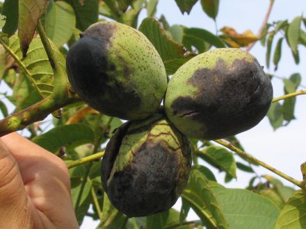 Od orehove muhe napadeni orehi na drevesu
