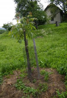 S travo zastrt drevesni kolobar in zaščita mladega oreha pred divjadjo