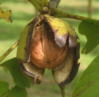 Žlahtne sorte imajo skoraj praviloma gladko in svetlo luščino.