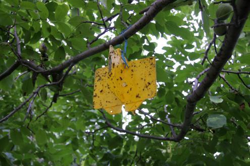 Na rumene plošče, premazane z močnim lepilom, se ujame orehova muha.