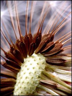 Del regratovih semen je že odplul z vetrom. - Foto: www. microcsopy-uk.org.uk