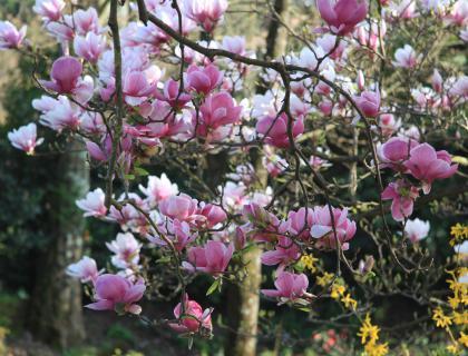 Magnolije so starejše od čebel