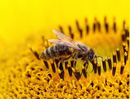 Pozivi k širši prepovedi uporabe pesticidov za dobro čebel