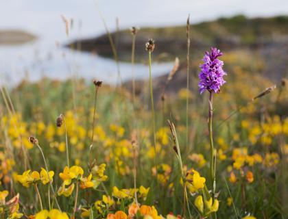 Orhideje vse do Nordkappa