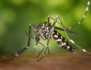 Odstranjevanje lončnic in uporaba dišavnic za zajezitev populacije tigrastega komarja