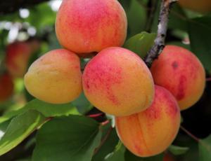 Sajenje sadnega drevja: Odstraniti vse korenine prejšnjih dreves