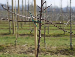 VIDEO: Sajenje in gojitvena rez sadnega drevesa