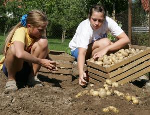 Pridelajmo svoj krompir: največ pet gomoljev na kvadratni meter