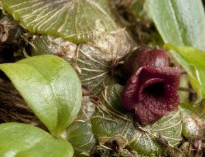 Nova vrsta orhideje iz družine Porpax