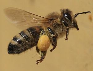 Predlog slovenskih čebelarjev za svetovni dan čebel