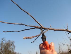 VIDEO: Rez sadnega drevja