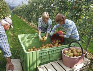 Sajenje sadnega drevja: Prednost odpornim sortam