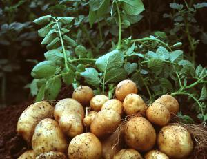 Semenski krompir: Močnejše kalčke naredijo debeli gomolji