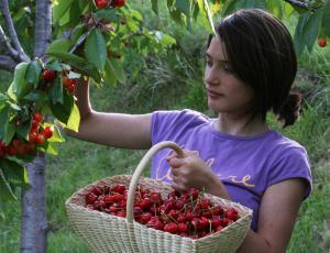 Sajenje sadnega drevja: Pri nakupu sadik vprašajte, ali je sorta samooplodna ali ne