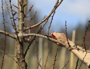 Rez sadnih dreves: Opazujmo, kaj bodo odgovorila