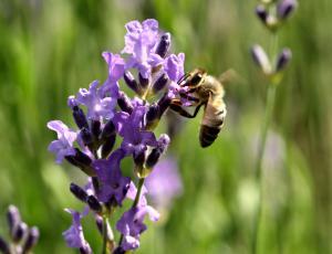 Medovite trajnice: Vsaka kapljica nektarja in košek cvetnega prahu štejeta