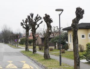 Mestna drevesa: Nedopustno je drevesu odvzeti več kot desetino krošnje