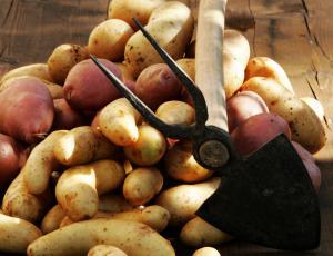 Semenski krompir: Rumene sorte si utirajo pot