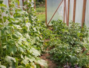 Plodovke in stročnice: Za paradižnik tudi na vrtu smiselna streha