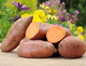 Sladki krompir: Ni zdrav le na krožniku, temveč tudi na vrtu