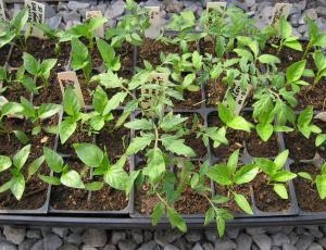 Sadike vrtnin: Najprej čebula, solata, zelje in zelena