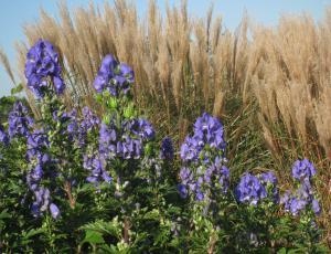 Jesenske trajnice: Do pomladi se bodo okrepile