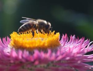 Več rastlin za kranjske čebele