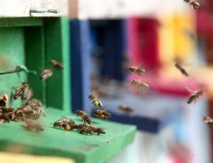 Slovenske čebele tudi v estonskem predsedniškem vrtu
