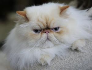 Mačje lepotice na ogled