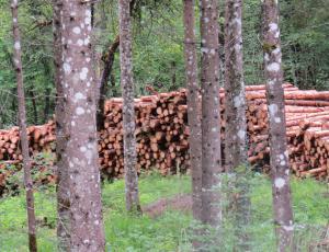 Lubadar pospešeno uničuje slovenske gozdove