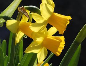Ena roža: Narcisa