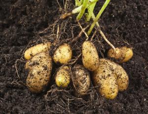 Na trgu viški krompirja, česna in paradižnika