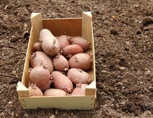Kako pred sajenjem nakalimo krompir