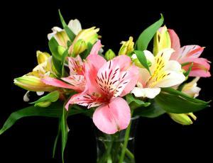 Trdoživa inkovska lilija