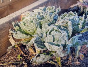 Vrtičkarji, zaščitite rastline pred pozebo